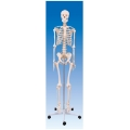 Functional Skelton on Stand